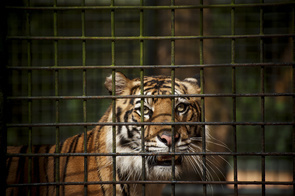 Wild Sumatran tigers are often in danger because of human conflict; here at Taman Safari, they have been given a tiger sanctuary.  The Sumatran tiger faces extinction from threats such as poaching, illegal logging and a boom in human population growth in the recent decade. A breeding programme seems to be the only hope for the Sumatran tiger's survival.