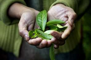 """One of the female tea pickers holds up tea leaves that will become white tea. The mountains around Darjeeling are naturally gifted with the perfect soil and climate for growing the world's most exclusive tea. Tea leaves, delicately hand picked by Nepalese women at any of the 68 tea plantations, will within 24 hours be heading for a tea store in London, New York or Tokyo. More and more people are opening their eyes to tea as a healthy drink, and in Darjeeling and abroad a new trend is pushing the industry forward. Different varieties of """"White"""" tea have become a hot commodity. In Nathmull's Tea Room this exclusive white tea costs around 125 rupees a cup, approximately one tenth of the 20 Euros that it would cost in a cafe in Europe."""