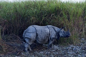 """Kaziranga National Park is one of the last refuges for the single horned rhinoceros which have remained endangered since the early 1900s. At that point there were only around 200 animals left, but concerted effort to protect the species has allowed some repopulation which means that this nature reserve now holds two thirds of the Earths remaining 2500 single horned rhinos. The park is also rich in bird life, elephants, deer, jackals and gaur (Indian bison) and even tigers. However in Kaziranga National Park there is a war going on between poachers who are hunting the extremely endangered single-horned rhinos and the Park Rangers. The poachers who kill the rhinos just for the horn, offer armed resistance when they are caught hunting by the Rangers. The Rangers are """"licensed to kill"""" - literally. Tourists can visit the reserve when accompanied by Park Rangers, but anyone else is considered an illegal or a poacher and is shot on sight. There have been cases of summary executions, poachers caught and made to kneel down and shot in the back of the head. Part of the problem is the poverty of the farmers in the nearby villages who are faced with the threat or encroachment by elephants, tigers rhinos and buffaloes who destroy their crops. They often help or even guide the poachers for small payments. Rangers feel that until the local population is committed to conserving the wildlife the violence and killings will continue."""
