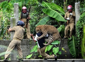 Guards try to subdue a leopard on the loose near Mahananda Wildlife Sanctuary in India's West Bengal. According to the forest department, more than 15,000 hectares of forest land have been encroached upon in West Bengal, forcing wild animals out of their natural habitat and into areas where humans aren't properly trained to handle them. In this case, a leopard stepped out of the jungle and into conflict with local guards, who began hurling stones in the direction of the scared animal. Later, burning tires were thrown in the animal's direction. When nothing happened, the guards concluded that the leopard, a member of an endangered species, had died. But then it let out a roar and jumped upon the guards, who tried to subjugate the animal with brutal kukri stabs. Eventually, the leopard was captured in a net; but by then, it had almost died because of mistreatment from the guards, who were not properly trained to perform a rescue and did not tranquilize the animal properly when they had the chance.  Mandatory credit: Salil Bera/The Week/OnAsia.com