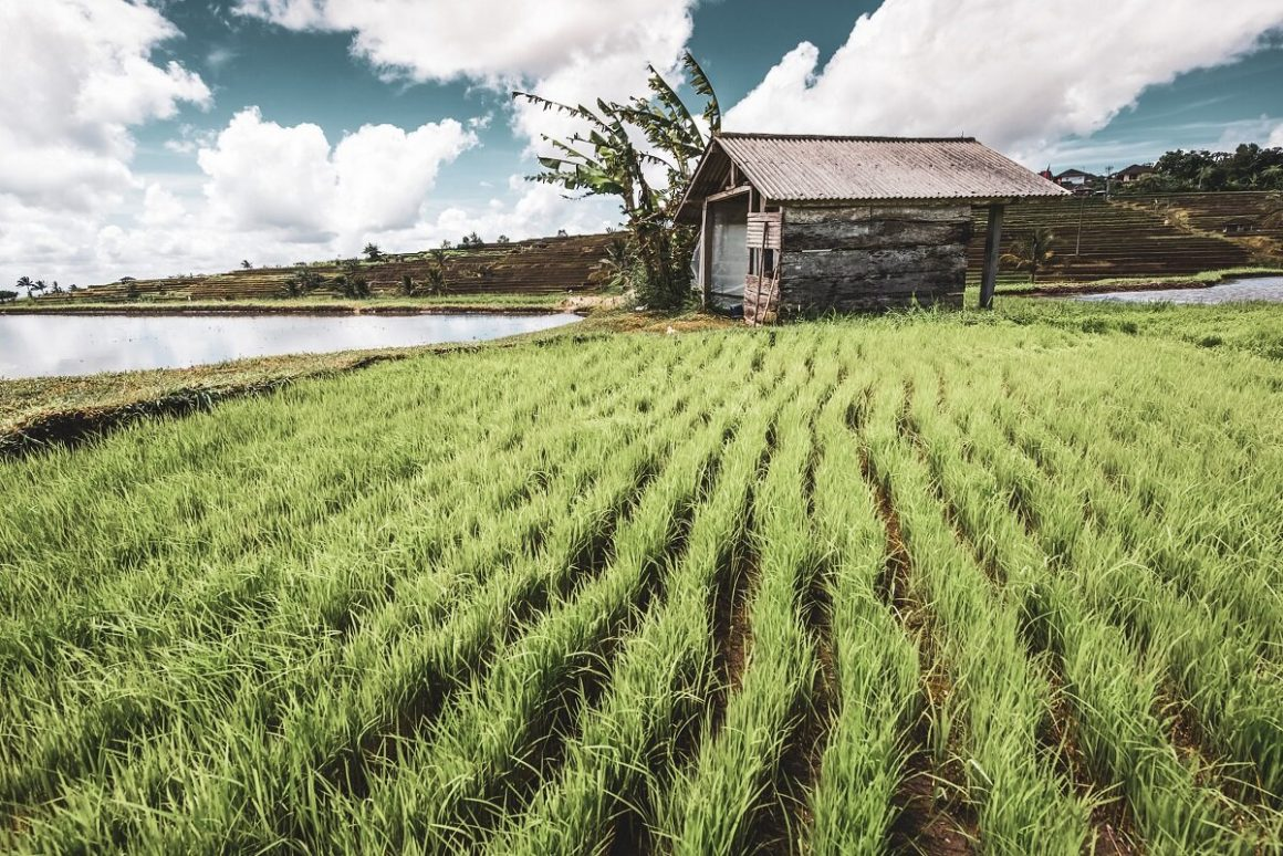 Rice Field with a House