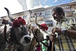 A moment during the farmer festival, as volunteers help the oxen to carry a 25 meters wheat obelisk build in honor of Madonna Addolorata in Mirabella Eclano, south of Italy. During the ancient farmer festival 12 Oxen and cows carry the obelisk and all the Mirabella Eclano citizens pull the ropes to balance the obelisk during the slow run.
