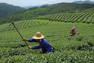 A Burmese laborer works in a tea plantation in Mae Salong. While the plantations are owned and run by Chinese Thais, much of the fieldwork is done by migrant Burmese labor.The local valley was settled by ethnic Chinese allied with the Kuomintang who had been chased out of China by Mao Tse-Tung's Communist forces. They brought their culture with them and created a small corner of China in Northern Thailand. While famous for growing and refining heroin in past decades, in recent years locals have made their living growing world-class Oolong tea.