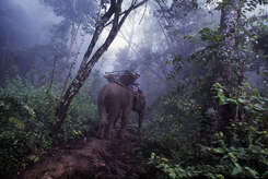 An elephant and his mahout climb up from the village of Ban By My into the misty hills in remote Sayaboury Province near the Lao border with Thailand. Trained elephants in Laos are still used to drag timber down the hillside and to carry supplies of rice and grain to nearby villages, especially during the rainy season when many roads are impassable. These days, fewer than 1,500 elephants live in the wild. The number of working elephants also continues to diminish.