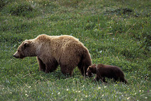 USA, Alaska, Denali National Park, Grizzly Bear Sow With Cub.