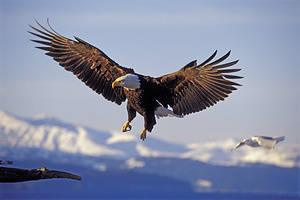 USA, Alaska, Homer Spit, Bald Eagle Flying, Approaching Landing.
