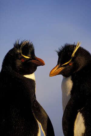 Falkland Isls.,new Island, Rockhopper Penguins In Evening Light.