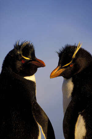 Falkland Isls.,new Island, Rockhopper Penguins In Evening Light.