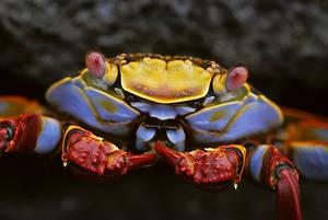 Ecuador, Galapagos Islands Sally Light-foot Crab, CLOSE-UP(Grapsus grapsus).