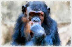 Chimpanzees (Latin Pan) - genus of the hominid family of primates