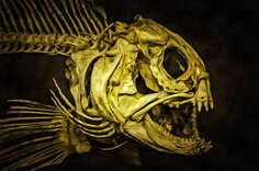 Skeleton Ordinary catfish (Anarhichas lupus), painting,